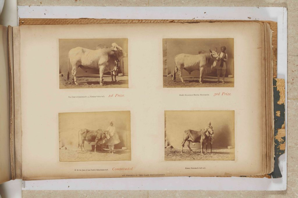 Magnificent Beasts and Where to Find them: At the Bombay Horse and Cattle Show, 1890 - Animals, Buffalo, Camel, Cattle, Horses, Komal Chitnis, Magnificent Beasts