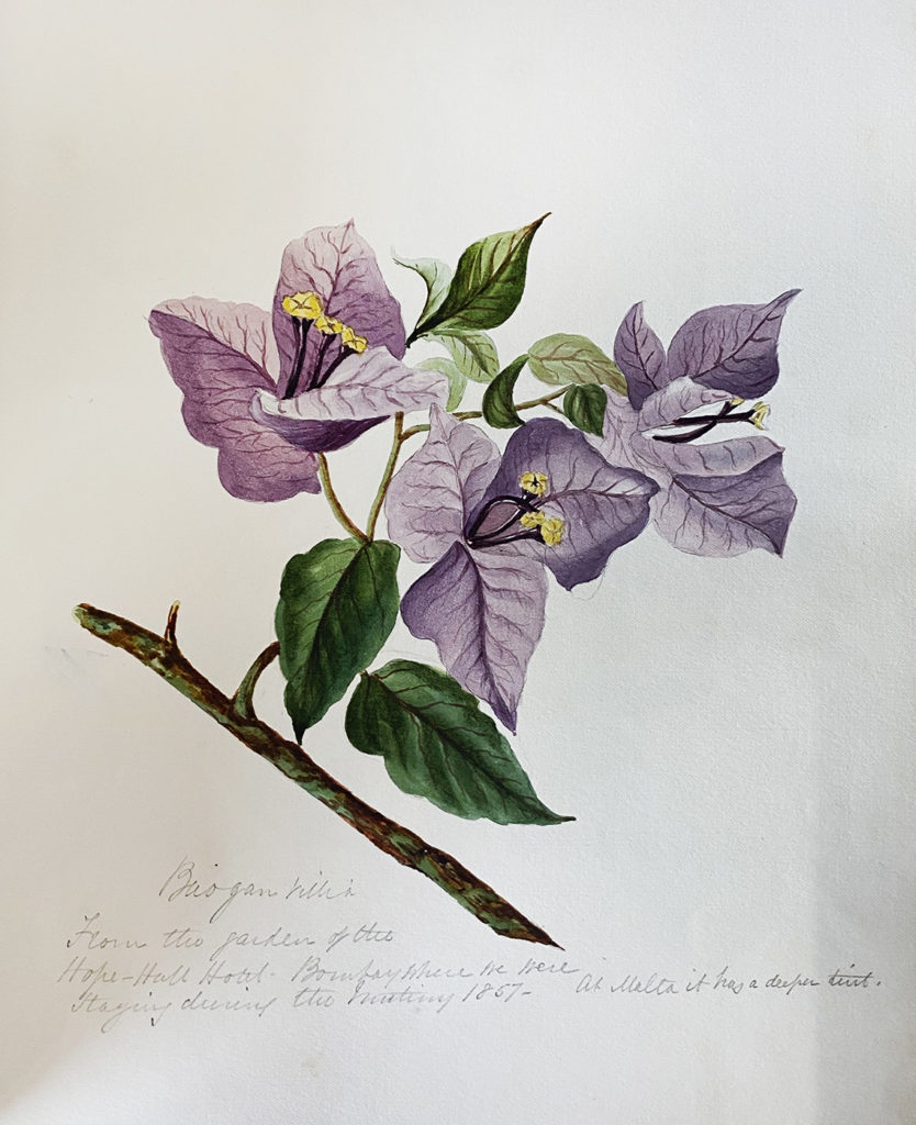 Bougainvillea botanical illustration from the rare book, 'Flowers of Bombay Presidency'