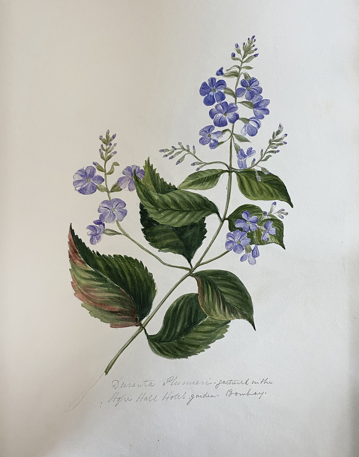 Dreams in Watercolour: Botanicals from Bombay -